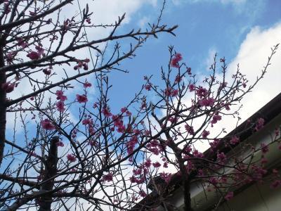 我家の桜2