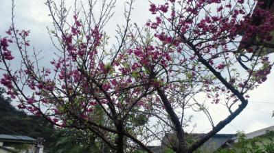 我家の桜8分咲き1