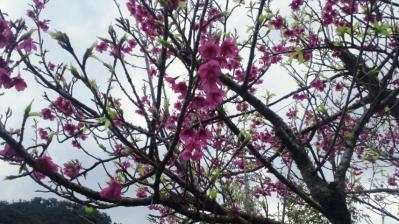 我家の桜8分咲き2