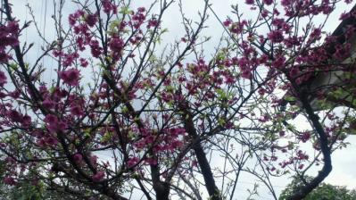 我家の桜8分咲き3