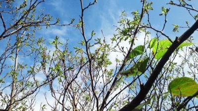 春の息吹=桑の木編1