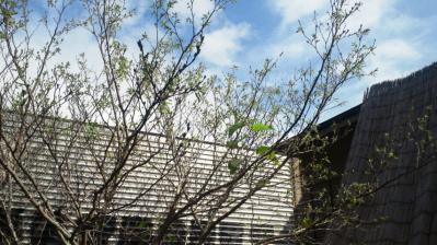 春の息吹=桑の木編2