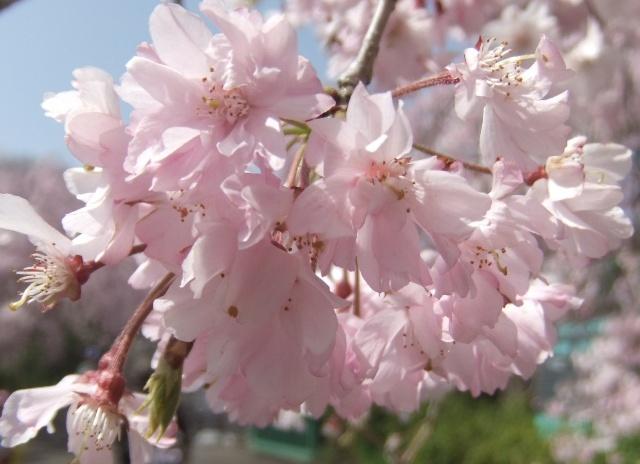 しだれ桜接写