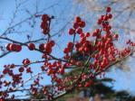 新宿御苑の梅もどき