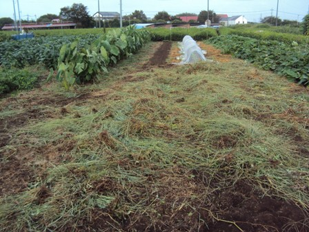 白菜と草刈り後