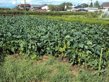台風後の大豆