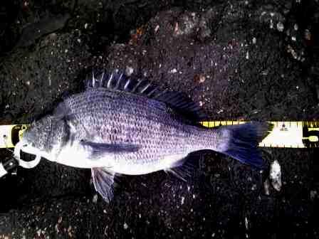 2011.12.10 石岡 牛 黒44cm