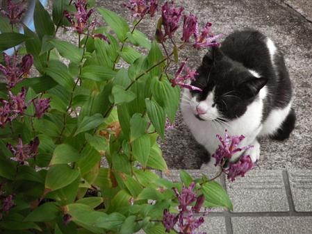 ホトトギスと猫