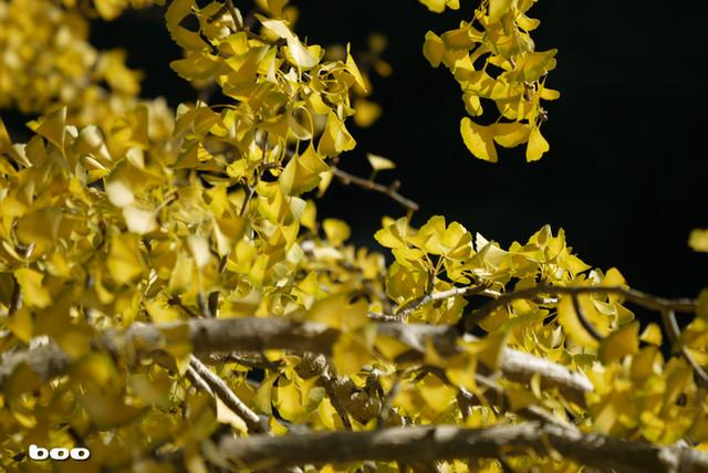 銀杏の樹・3