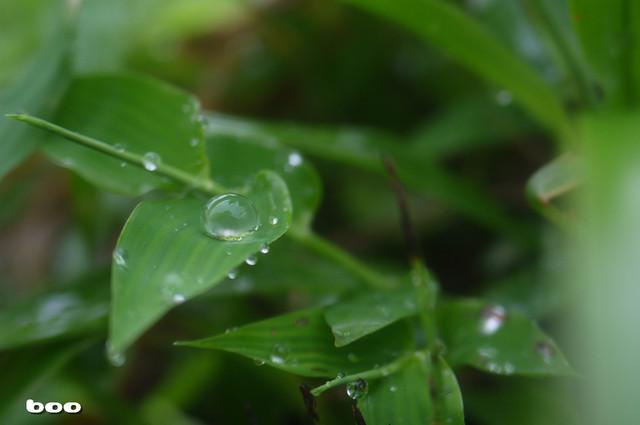 草花と露・2