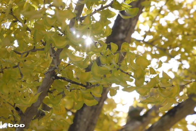 銀杏の樹・2