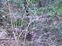 (ムラサキシキブ) 紫の小さな実がついています。