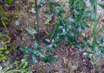 オリーブ 記念樹(6月)