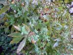 シモツケ 大山から移植 花木