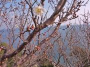 紅白の梅は蕾 水仙郷