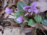 西大平山 春一番のスミレの花