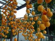 11月4日に干した、この柿 全部ダメになった。