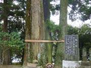 神社境内の千年杉(親子杉)