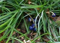 竜のヒゲ 細い葉に隠れた青い実