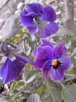 『ビオラ 紫』