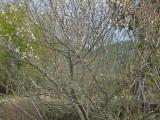 梅の開花が迎えてくれ 後方に熊山