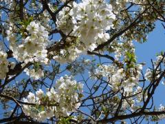 頂上の白桜満開 紺碧の空