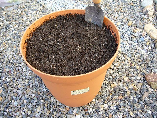 アスパラガス植える3