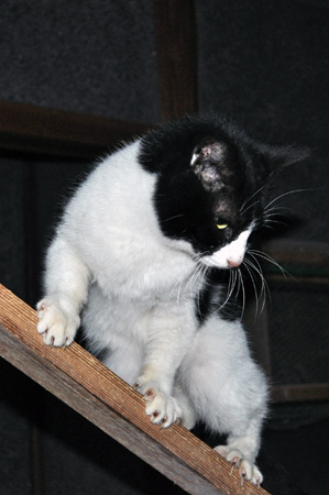 S猫ハチワレ