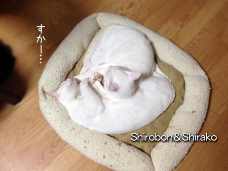 シロボンしらこ2013.11.26