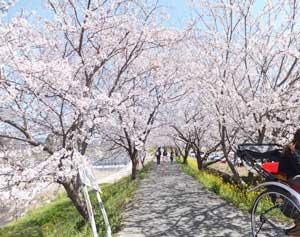 桜流川02