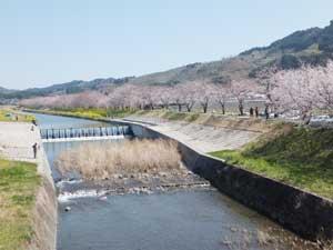 桜流川01