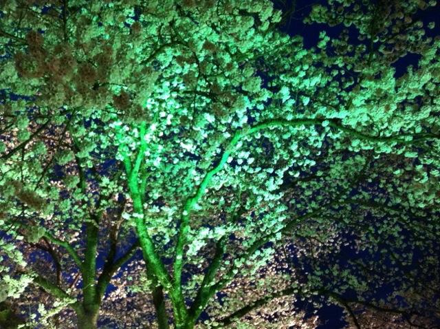 夜桜 旧県庁