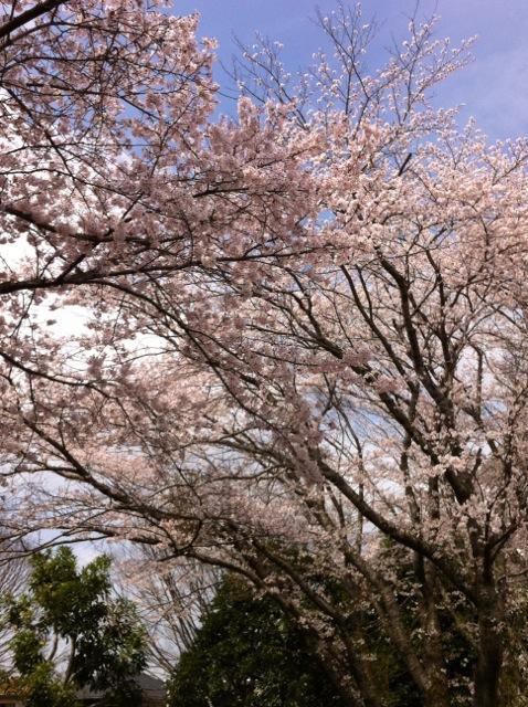 桜H11 武道館公園