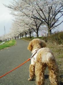 LOVE☆KURU-桜並木1