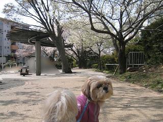 桜のある公園1