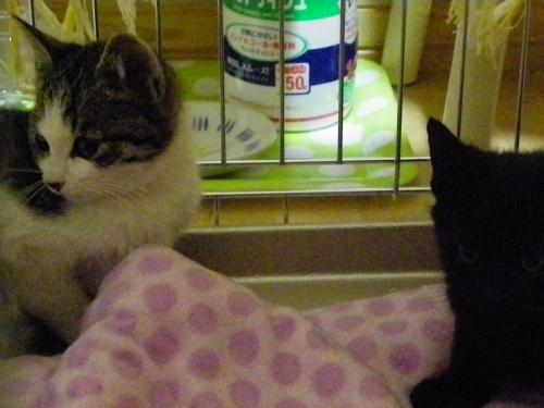 保護仔猫キジ白・黒