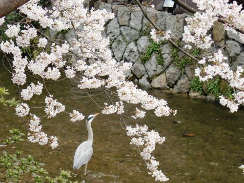 10.桜祇園白川他 (34)