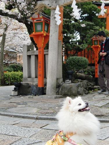10.桜祇園白川他 (26)