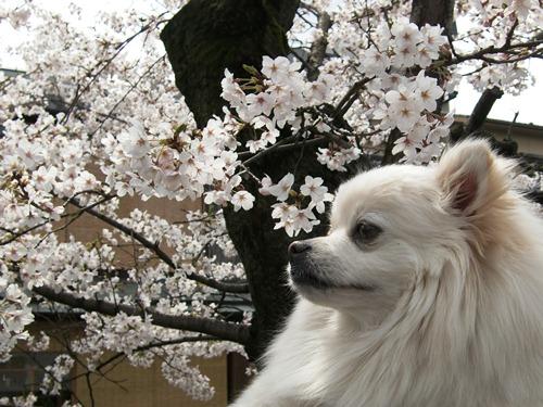 10.桜祇園白川他 (31)