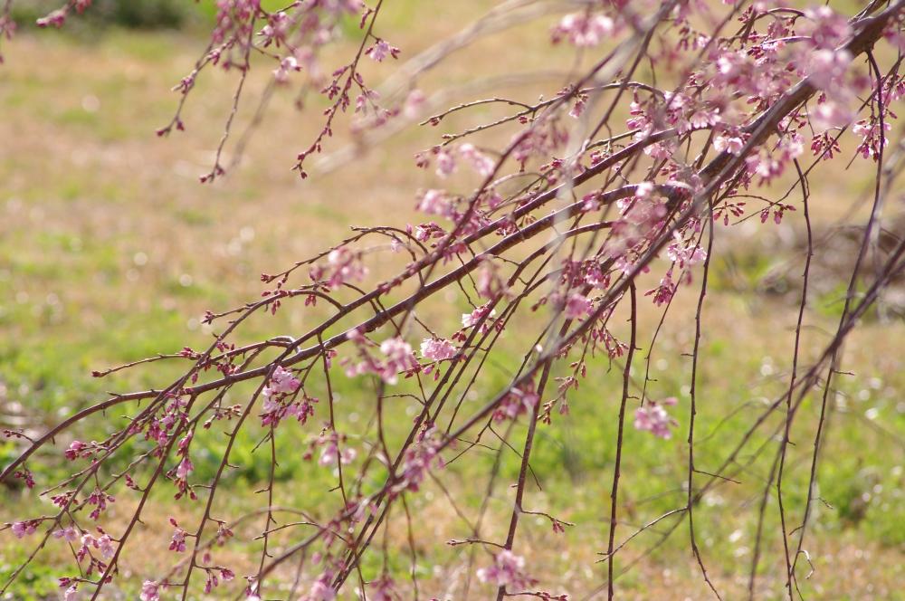 祇園枝垂2
