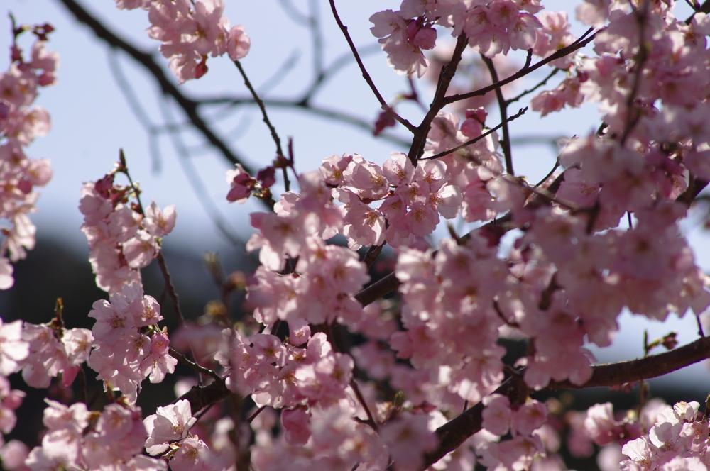 高遠小彼岸桜2