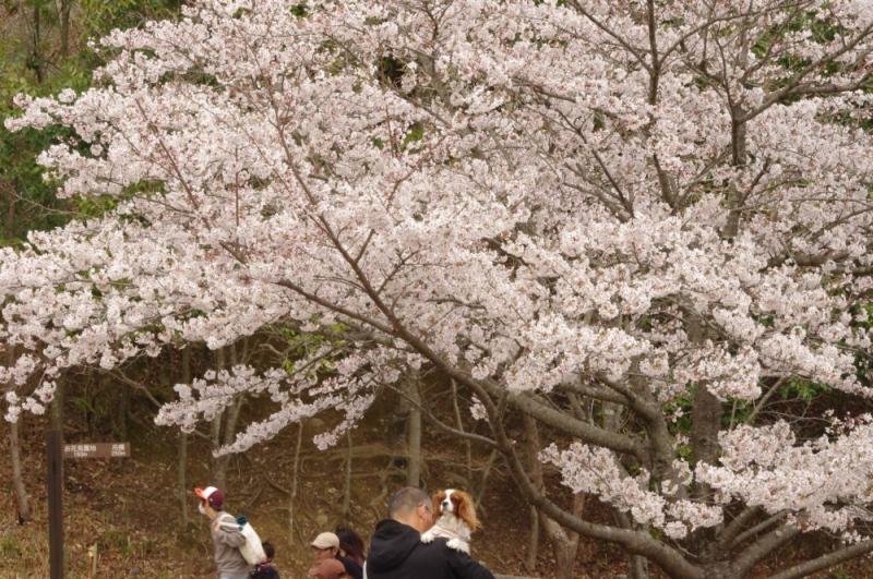 満開の桜と