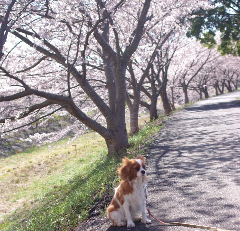 桜とLatte