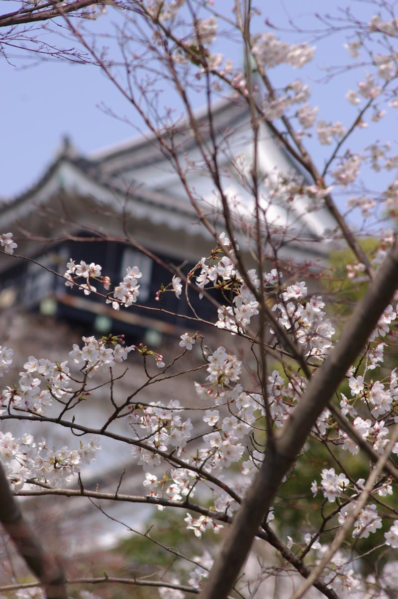 お城と桜2