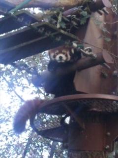 木の上のレッサーパンダ