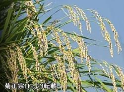 米のしずくに使用されているのは高アミロース米