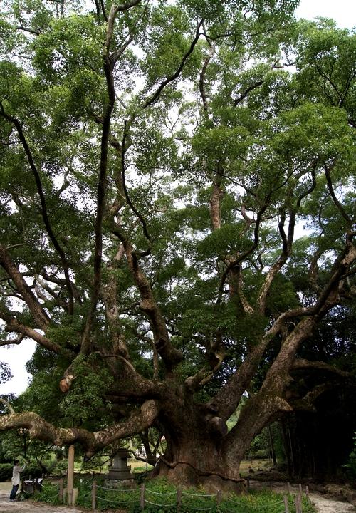 230814 川棚のクスの森5