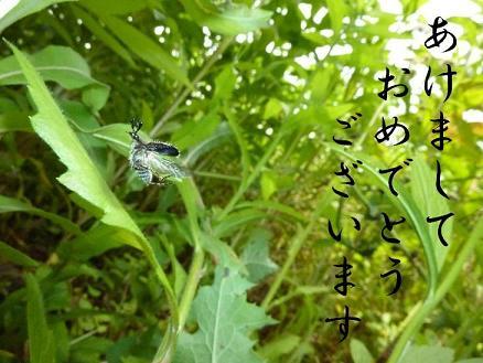 ヒゲブトハナムグリの飛翔