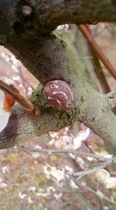 セイボウ産卵痕