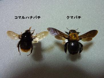 コマルとクマバチ